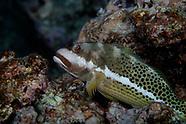 Paracirrhites hemistictus (Halfspotted Hawkfish)