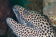 A beautifully patterned moray eel that grows to a length of at least 2m