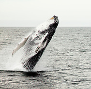 Jumping Humpback Whale near Cape Cod