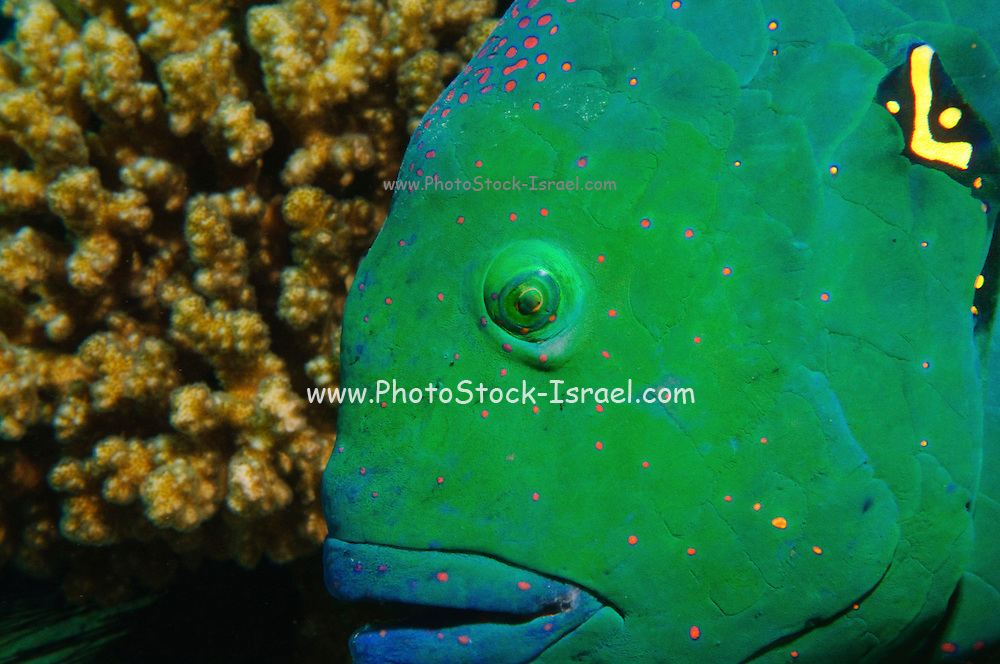 Israel, Eilat, Red Sea, - Underwater photograph of a Broomtail wrasse, Cheilinus lunulatus