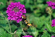 04005-00115 Snowberry Clearwings (Hemaris diffinis) mating on Homestead Purple Verbena (Verbena canadensis) Marion Co.  IL