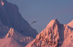 Northern Fulmar (Fulmarus glacialis) in Hornsund in March, Svalbard, Norway
