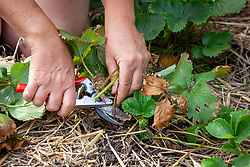Cutting back strawberry foliage when they have finished cropping
