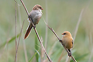 Bearded Tit - Panurus biarmicus - Adult female and juvenile