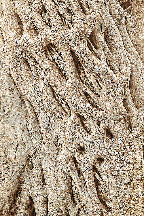 Knarled roots wrap around the trunk of an banyan tree in Hawaii
