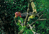 A male Helmeted Hornbill (Rhinoplax vigil) carries a large stick insect to deliver to his mate sealed inside her nest cavity.  Budo-Sungai Padi National Park, Narathiwat, Thailand.