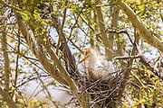 Cattle Egret on its nest, California