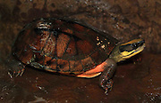 golden crowned turtle