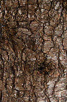 Close-up of pine tree bark, Maine.