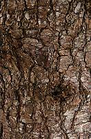 Close-up of pine tree bark, Maine.