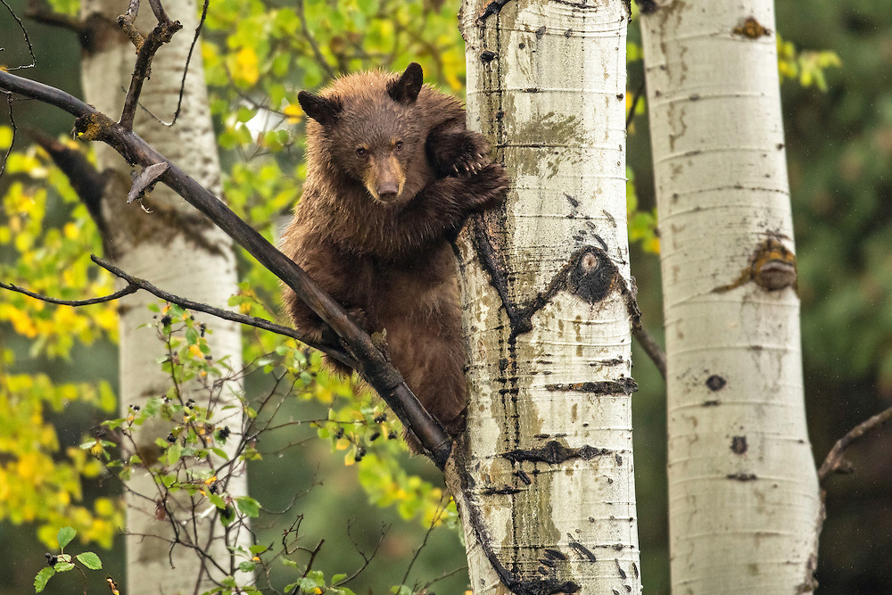 In an effort to get closer to a hawthorn bush laden with berries, this black bear cub attempted approach from above. The cub quickly left his precarious perch once he realized the berries were easier to reach from below.