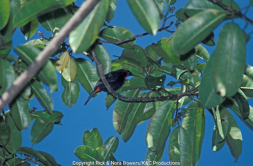 Greater Antillean Bullfinch<br /> Loxigilla violacea<br /> Cockpit Country, Jamaica<br /> April       Adult Male       Thraupidae