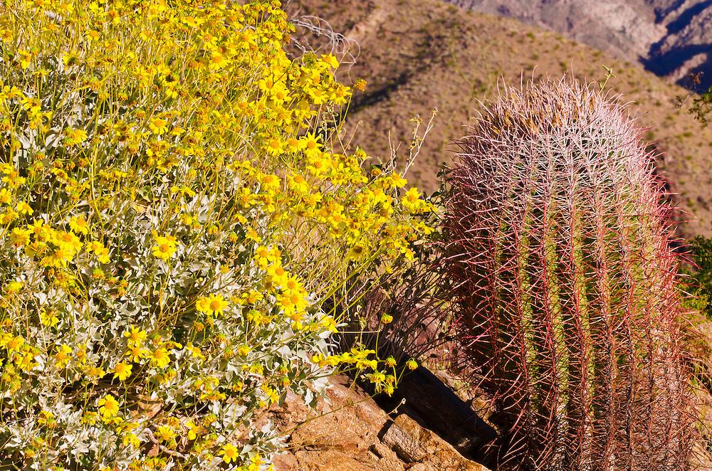 Morning light on barrel cactus and brittlebush under Indianhead Peak, Anza-Borrego Desert State Park, California USA