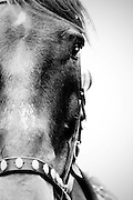 A closeup of the face of a Jousting Steed at full gallop competeing in a tournament joust.