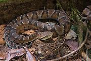 Toadheaded Pitviper (Bothrocophias microphthalmus)<br /> Amazon<br /> ECUADOR<br /> Vivarium ID # 3642<br /> Captive
