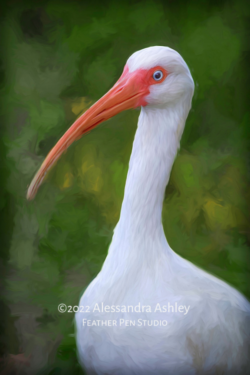 White ibis in profile showing long curved red beak.  The ibis beak is designed for probing the shallows for crustaceans and worms. Oil paint effects blended with original photograph.