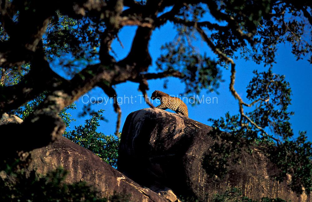 Sri Lanka. Leopard on Rock -Yala (Ruhuna) National Park.