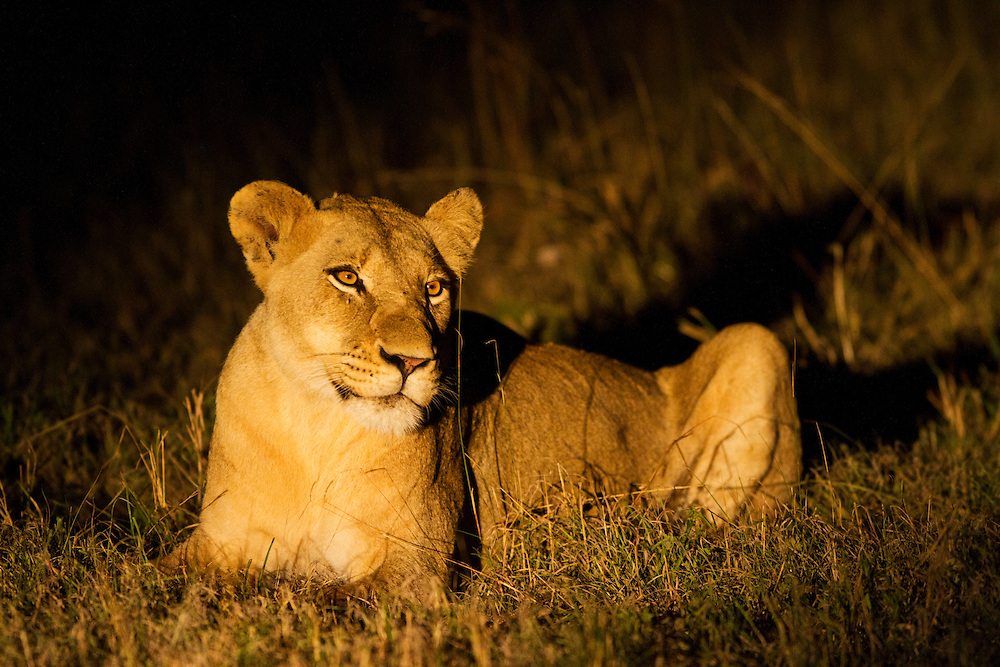 South Africa, Sabi Sands Game Reserve, Spotlight illuminates lioness (Panthera leo) resting in tall grass at night
