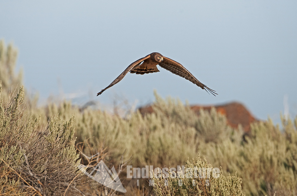 An immature Northern Harrier flys low over sagebrush as it looks for mice and other small animals in the west desert of Utah.
