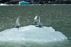 Alaska,  arctic terns, seen while cruising the Southeast wilderness waterways on the Spirit of Discovery.  Endicott Arm and Dawes Glacier, scenery, glacier and cruise ship. .Photo copyright Lee Foster, 510/549-2202, lee@fostertravel.com, www.fostertravel.com..