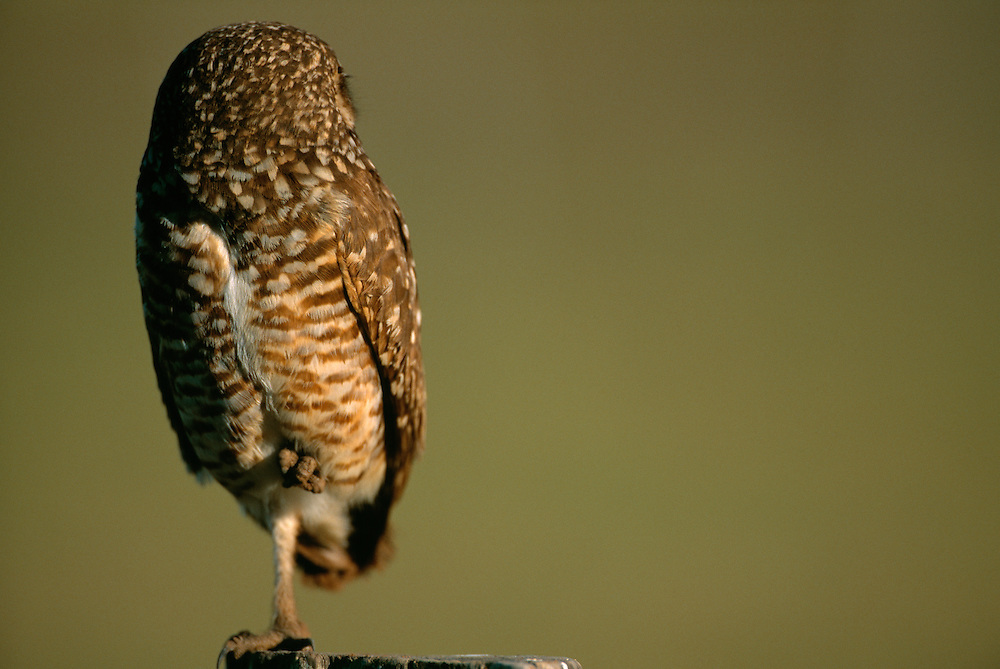 Burrowing Owl, Speotyto cunucularia, Pantanal, Brazil