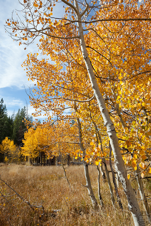 """Aspen in Tahoe 2"" - These yellow aspens were photographed in the fall at the shack near Brockway Summit in Tahoe."