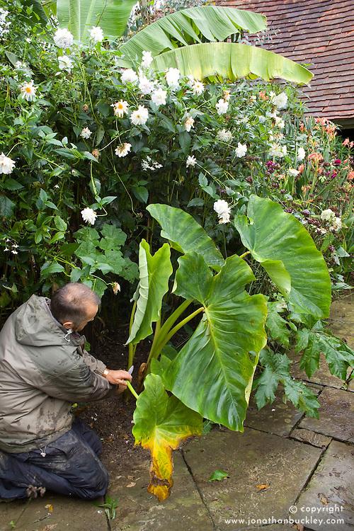 Overwintering Colocasia esculenta. Removing top growth