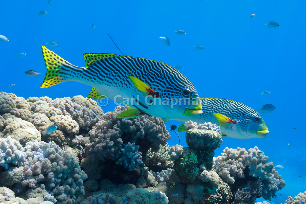 Diagonal banded Sweetlips fish (Plectorhinchus lineatus) on tropical coral reef - Agincourt reef, Great Barrier Reef, Queensland, Australia.