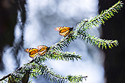 Monarch butterflies warm in the sun on oyamel fir tree branches at the Sierra Chincua Biosphere Reserve January 20, 2020 near Angangueo, Michoacan, Mexico. The monarch butterfly migration is a phenomenon across North America, where the butterflies migrates each autumn to overwintering sites in Central Mexico.