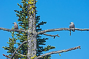 Clark's nutcracker (Nucifraga columbiana), E.C. Manning Provincial Park, British Columbia, Canada<br />E.C. Manning Provincial Park<br />British Columbia<br />Canada