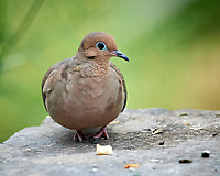 Mourning Dove. Image taken with a Nikon D5 camera and 600 mm VR lens