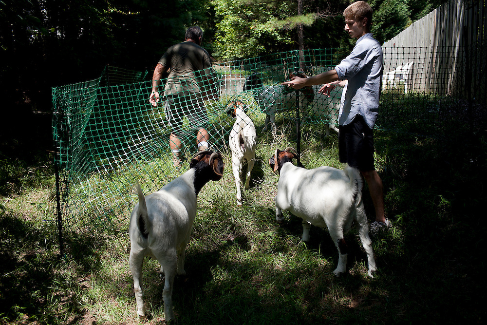 Rent-A-Goat Owner Matthew Richmond, right, lets a herd of Boer goats under a temporary fence erected to keep them contained and grazing while they clear a lot-side easement behind a home in Chapel Hill, N.C., Thurs., July 22, 2010...D.L. Anderson for The Wall Street Journal..GOATS