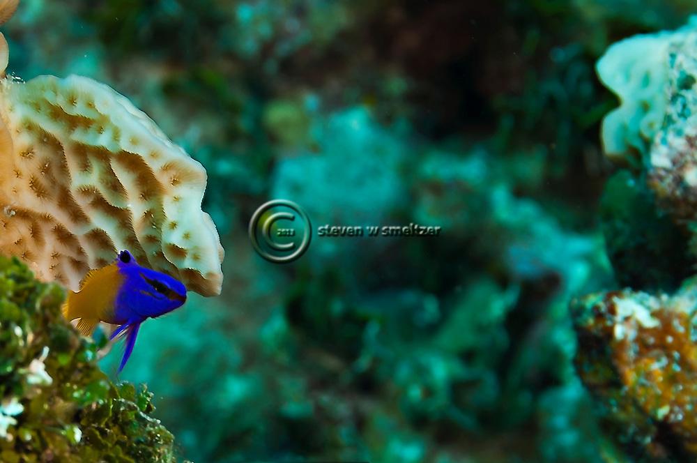 Fairy Basslet, Gramma loreto,Poey 1868,  Grand Cayman