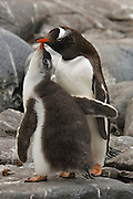 Gentoo chick begging the adult  penguin for food by toughing it beak.