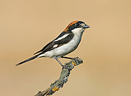 Woodchat Shrike Lanius senator. L 17-19cm. A bulky and well-marked bird. The Woodchat Shrike often perches on barbed-wire fences as well as low bushes, using these as lookouts. The sexes are separable with care. Adult Male has a chestnut cap and nape, a broad black mask running from the forecrown through the eye, and white underparts that are flushed faintly with peachy-buff on the flanks and breast. Note also the striking white patch on the scapulars, the white patch at the base of the primaries and the buffish white patch at the base of the bill. In flight, the pale rump and white-margined black tail are obvious. Adult Female is similar, but the black and chestnut elements of the plumage are less intense, the white patch at the base of the bill is more extensive and there is faint barring on the underparts. Juvenile has scaly grey-brown upperparts and paler underparts with faint vermiculations; note also the pale patch on the scapulars. Voice - utters a harsh, trilling call when agitated. Habitat and Status - the Woodchat Shrike is a scarce visitor to the region, with most records at migration times; 15 or 20 are recorded in a good year. In spring, adult birds appear here, while in late summer and autumn, dispersing juvenile birds sometimes turn up in coastal areas. Visiting Woodchat Shrikes favour areas of coastal scrub.