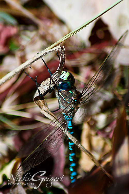 A sparkling iridescent dragonfly on a blade of grass in Namibia. Wildlife and nature photography, wall art, stock images.