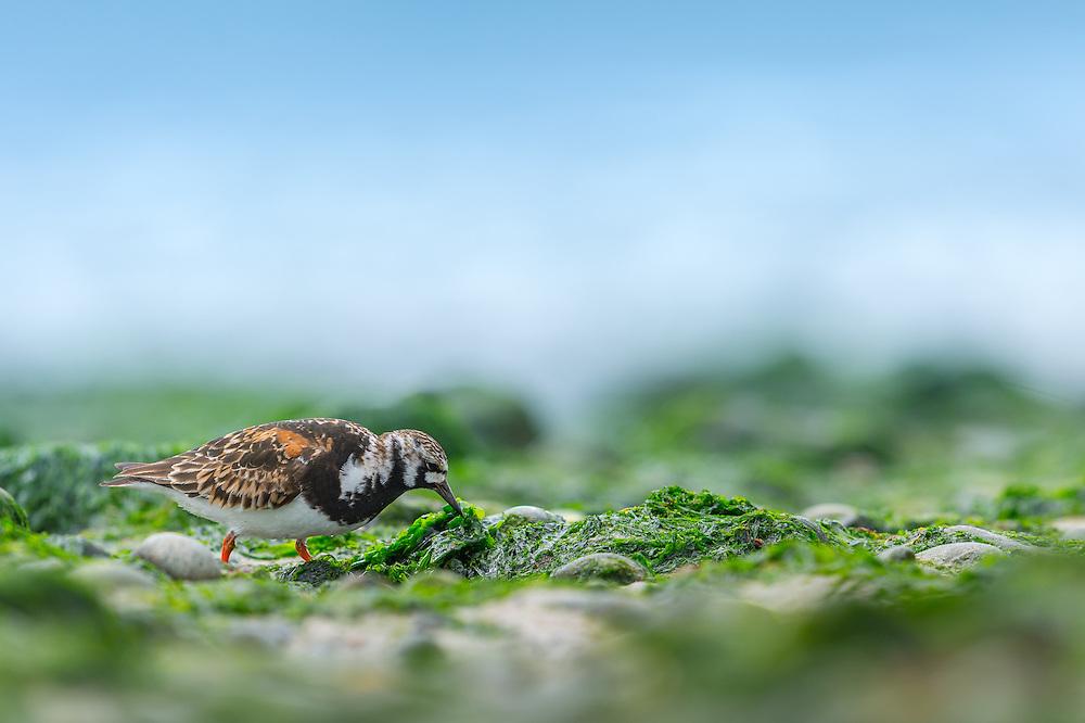 Steenloper (Arenaria interpres) foeragerend op het strand