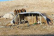 Israel, Negev Desert, Bedouin man in his tent with 4 camels