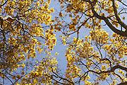 Nova Olinda_CE, Brasil.<br /> <br /> Detalhe de ipes da regiao de Nova Olinda, Ceara.<br /> <br /> Tabebuia chrysantha (Araguaney or Yellow Ipe) in Nova Olinda region , Ceara.<br /> <br /> Foto: LEO DRUMOND / NITRO