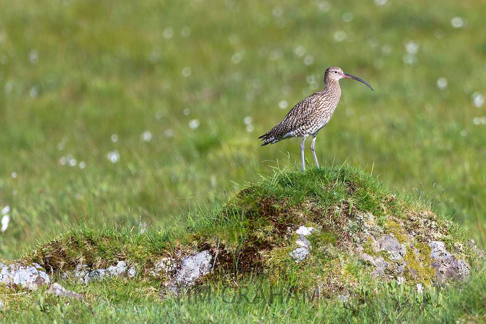 Curlew sandpiper, Numenius arquata, part of the sandpipers family of wading birds with long curved beak or bill on Isle of Mull in the Inner Hebrides and Western Isles, Scotland