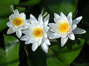 Three White Water Lilies<br /> © Laurel Smith