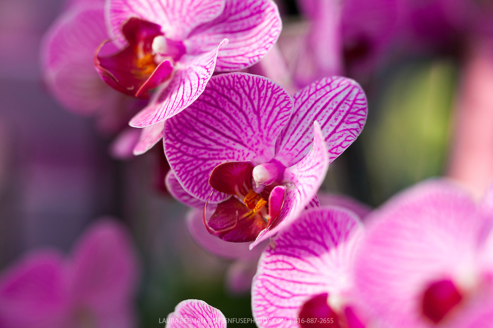 Deep rose and white moth orchid ( Phalaenopsis)