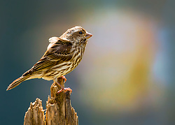 A Purple Finch Perched On A Tree Stump After The Rain