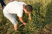 Man uses a sickle to harvest wheat during the spring harvest celebration. Photographed at Kibbutz Ashdot Yaacov, Israel