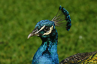 Common Peafowl photo Hawaii
