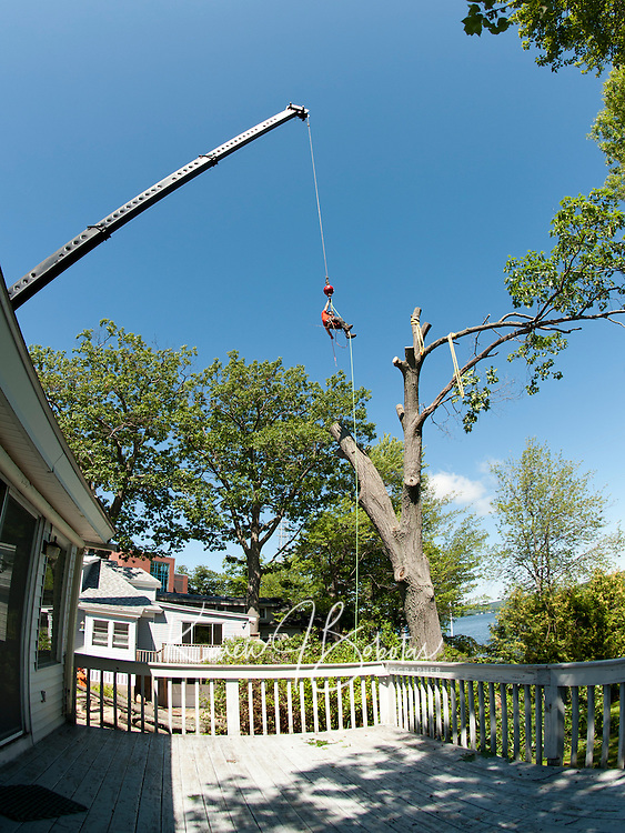 Zack West of ZD Tree Service is hoisted alongside an oak tree at the home of John Treacy with the help of Reliable Crane as he cuts the 100' tree down in sections during the day Friday.  (Karen Bobotas/for the Laconia Daily Sun)ZD Tree Service and Reliable Crane Service cut down a large oak tree on Opechee Street in Laconia August 26, 2011.  (Karen Bobotas/for the Laconia Daily Sun)
