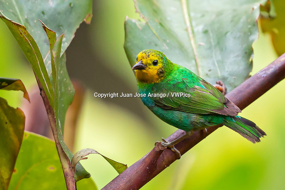 Multicolored Tanager (Chlorochrysa nitidissima) female, Valle del Cauca