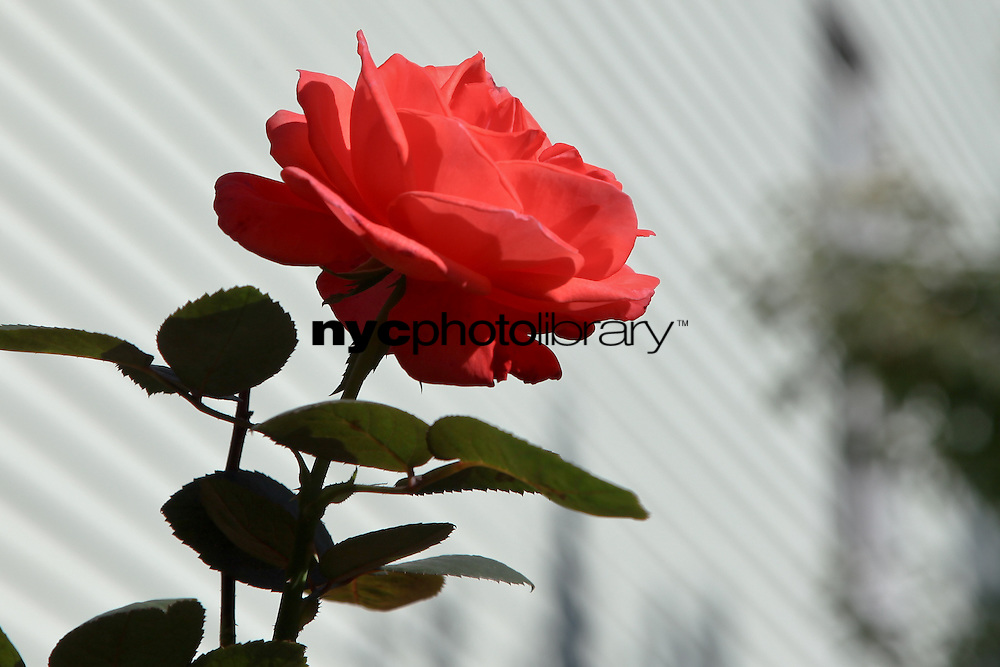 Rose on White Clapboard