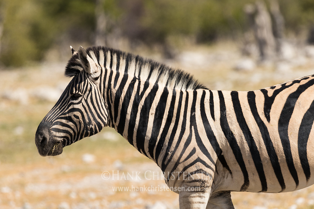 A plains zebra grazes in short grass, Etosha National Park, Namibia.