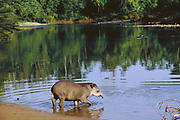 Brazilian Tapir<br />